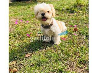 https://www.gallito.com.uy/cachorros-raza-shih-tzu-color-blanco-entega-octubre-productos-18188466