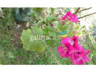 https://www.gallito.com.uy/plantas-de-geranios-productos-19131789