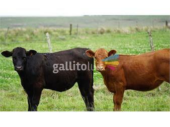 https://www.gallito.com.uy/vendo-terneros-lote-43-terneras-lote-40-180kgs-sin-destare-productos-19293725