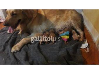 https://www.gallito.com.uy/hermosos-cachorros-golden-retiever-productos-19413372