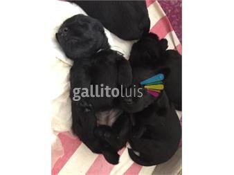 https://www.gallito.com.uy/cachorros-scottish-terrier-negros-con-pedigree-productos-19567728