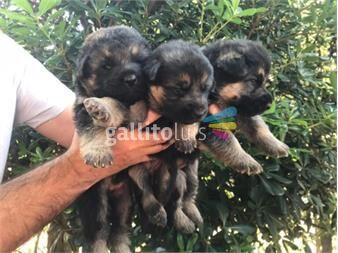 https://www.gallito.com.uy/cachorros-de-pastor-aleman-puros-productos-19647309