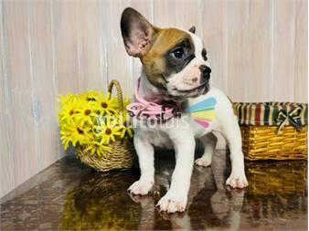 https://www.gallito.com.uy/cachorros-bulldog-frances-excelente-genetica-productos-19688790