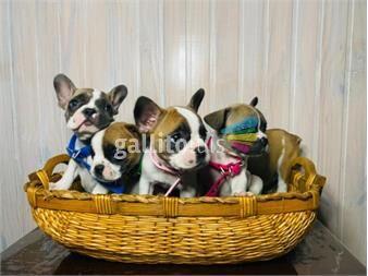 https://www.gallito.com.uy/cachorros-bulldog-frances-divinos-productos-19675557