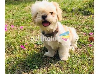 https://www.gallito.com.uy/cachorros-shih-tzu-entrega-junio-productos-19717210