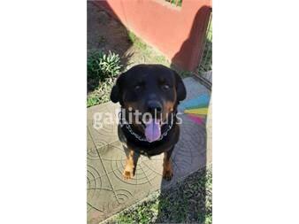 https://www.gallito.com.uy/cachorros-de-rottweiler-brasileño-con-pedigree-productos-20154474