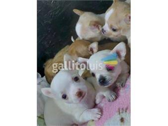 https://www.gallito.com.uy/hermosos-cachorros-chihuahuas-productos-20295789
