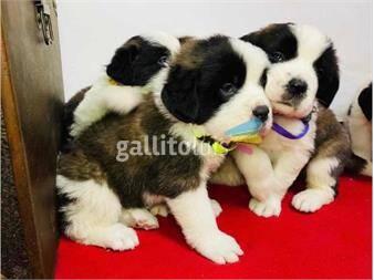 https://www.gallito.com.uy/cachorros-san-bernardo-excelente-genetica-productos-20418756