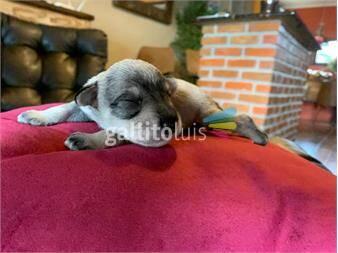 https://www.gallito.com.uy/cachorros-schnawser-puros-hermosos-productos-20479066